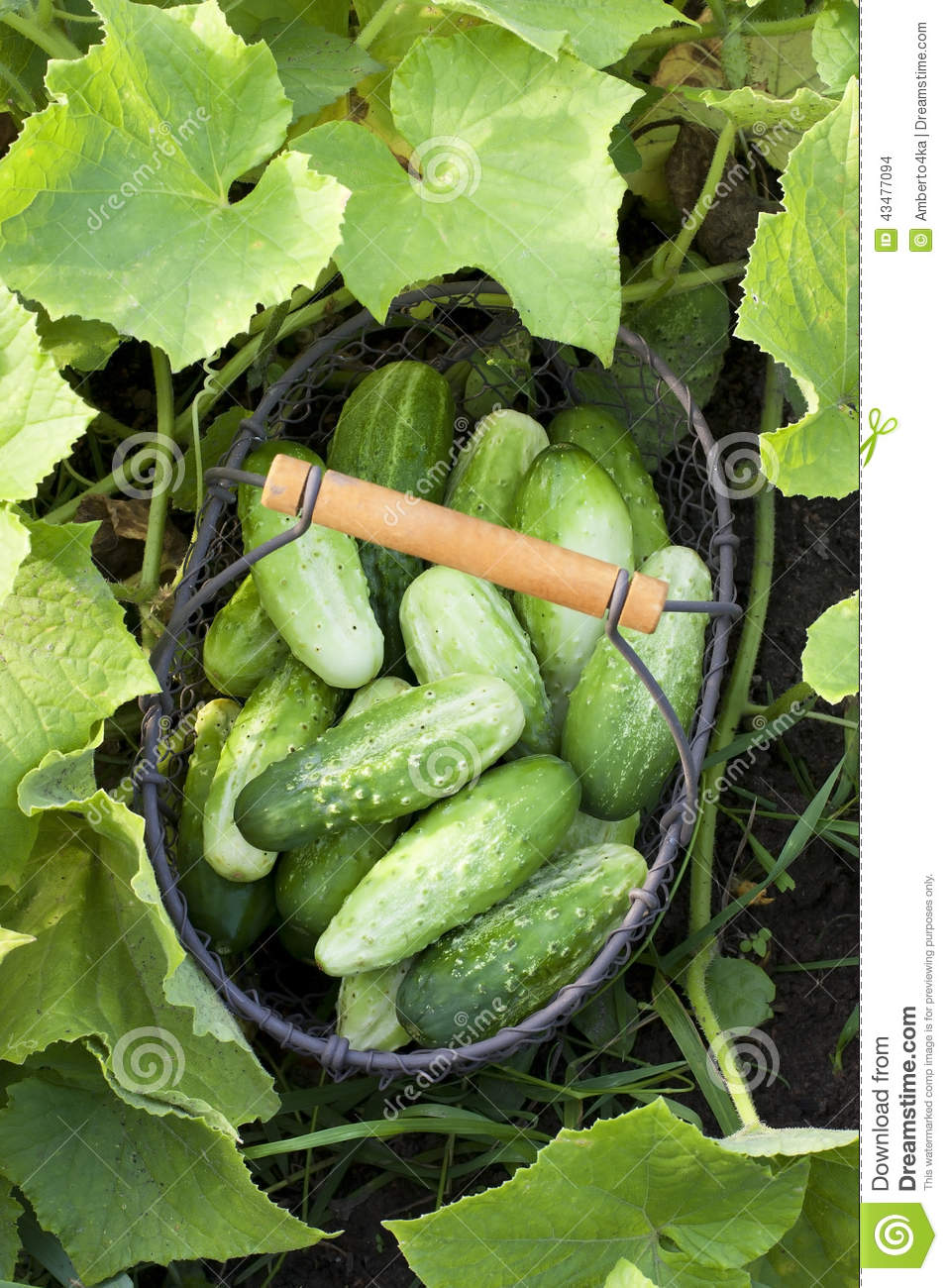 Cucumbers In The Garden Stock Photo Image 43477094