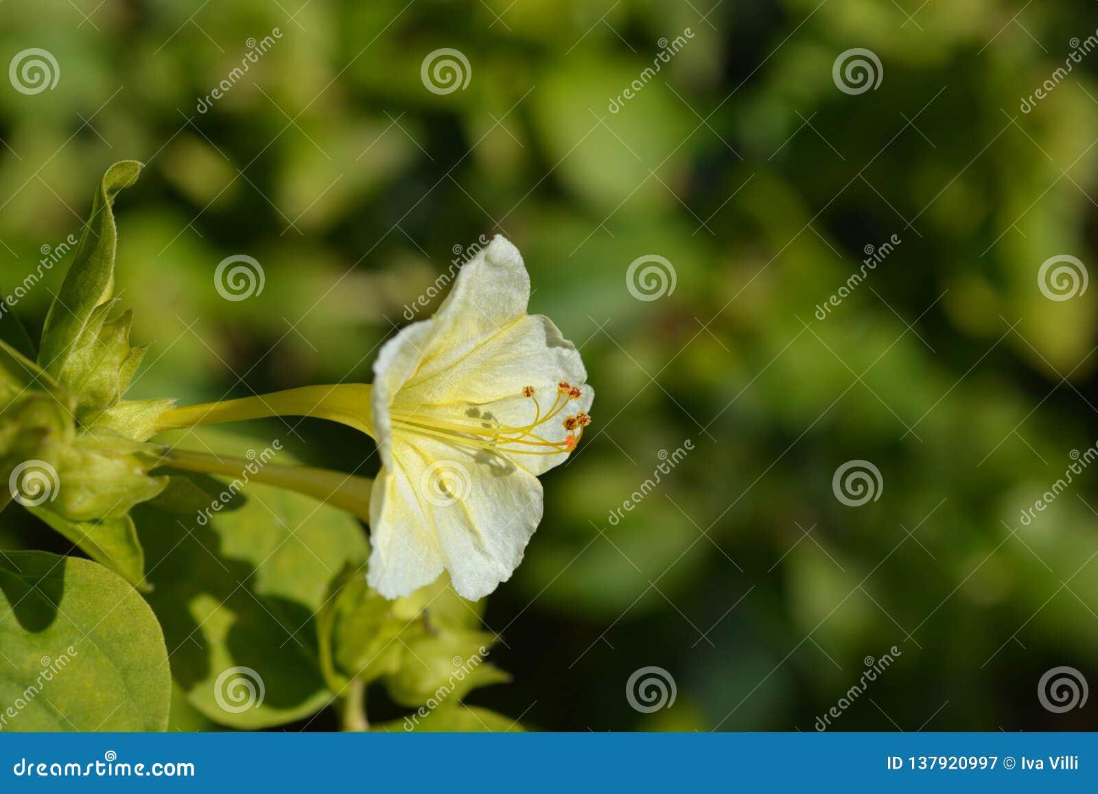 Cud Peru Lutea