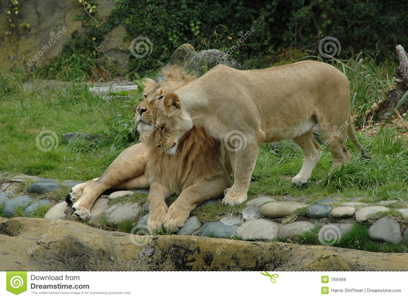 Lioness and lion cuddling