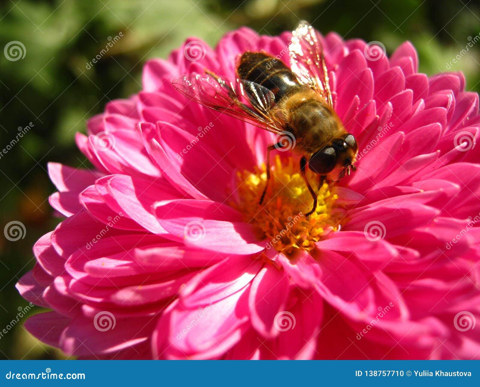 Cudowni jaskrawi różowi chryzantema kwiaty zamknięci w górę