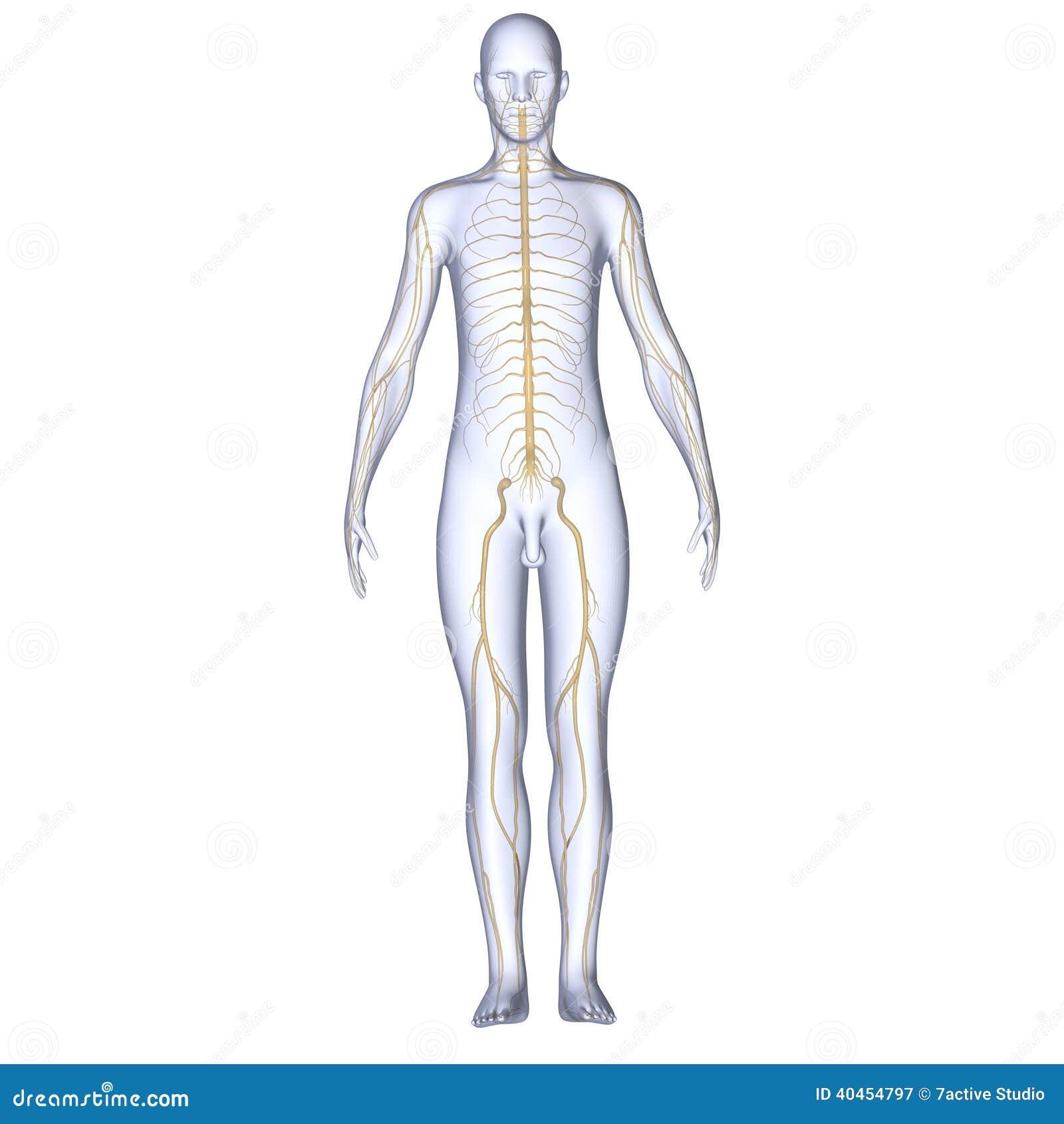 Cuerpo con los nervios stock de ilustración. Ilustración de biología ...