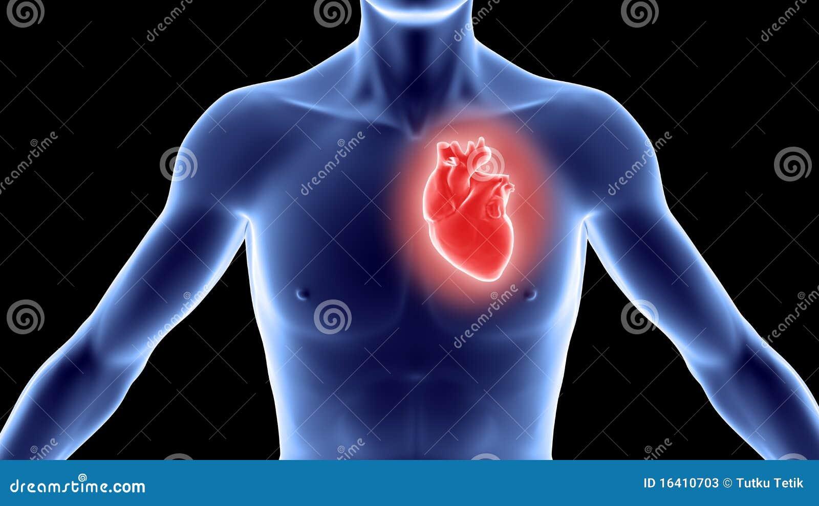 Excepcional Corazón En El Cuerpo Humano Foto - Anatomía de Las ...