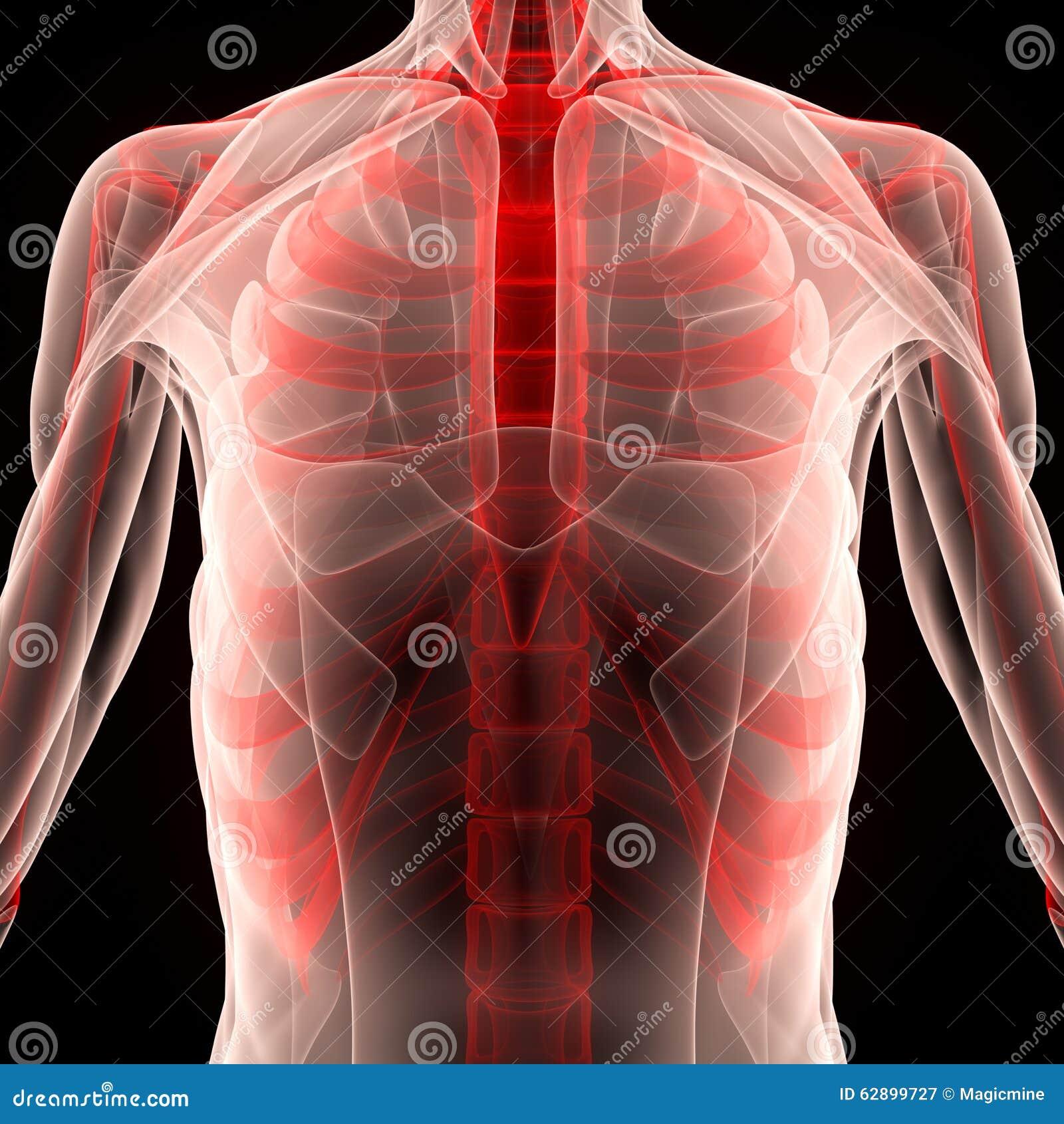 Cuerpo Humano Del Músculo Con Las Costillas Stock de ilustración ...