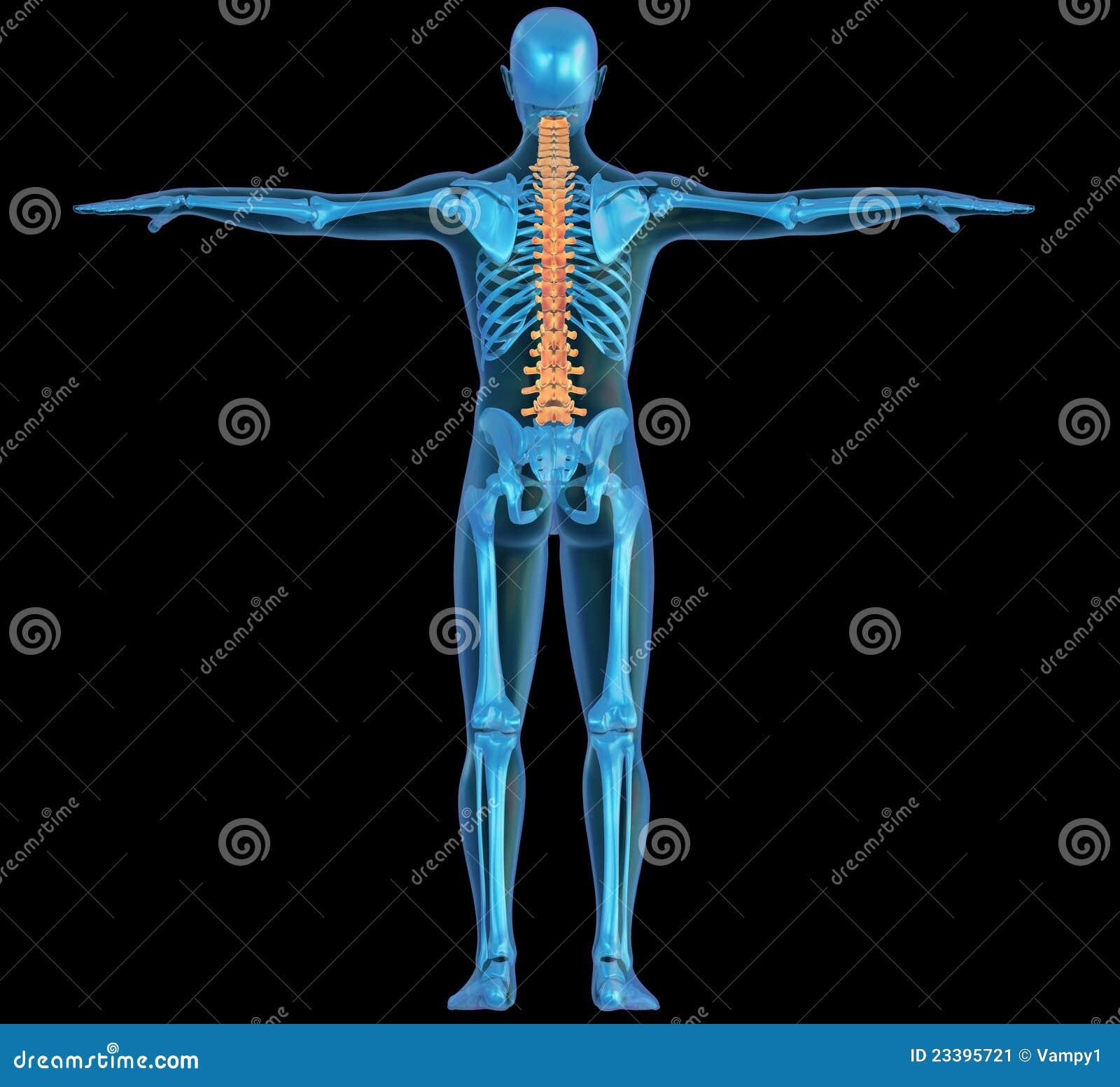 Cuerpo Humano, Esqueleto Y Espina Dorsal Stock de ilustración ...