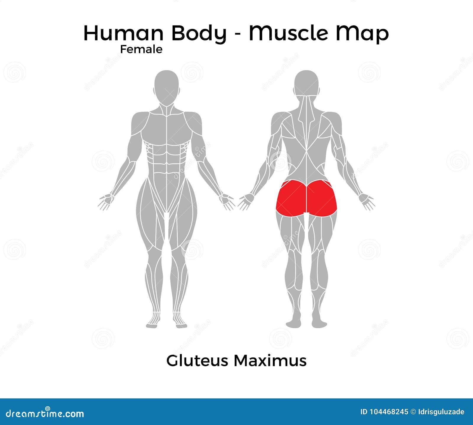 Cuerpo Humano Femenino - Muscle El Mapa, Glúteo Maximus Ilustración ...