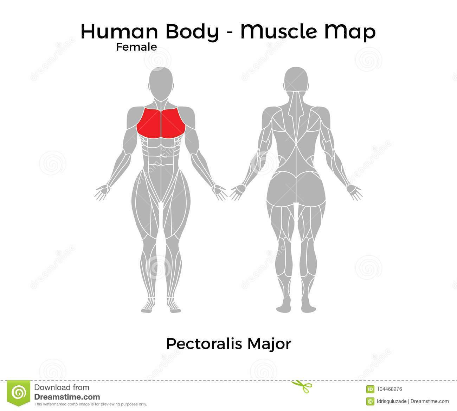 Cuerpo Humano Femenino - Muscle El Mapa, Músculo Pectoral Mayor ...