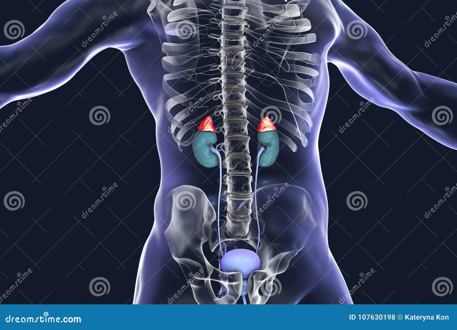 Cuerpo Humano Interior Destacado De Las Glándulas Suprarrenales ...