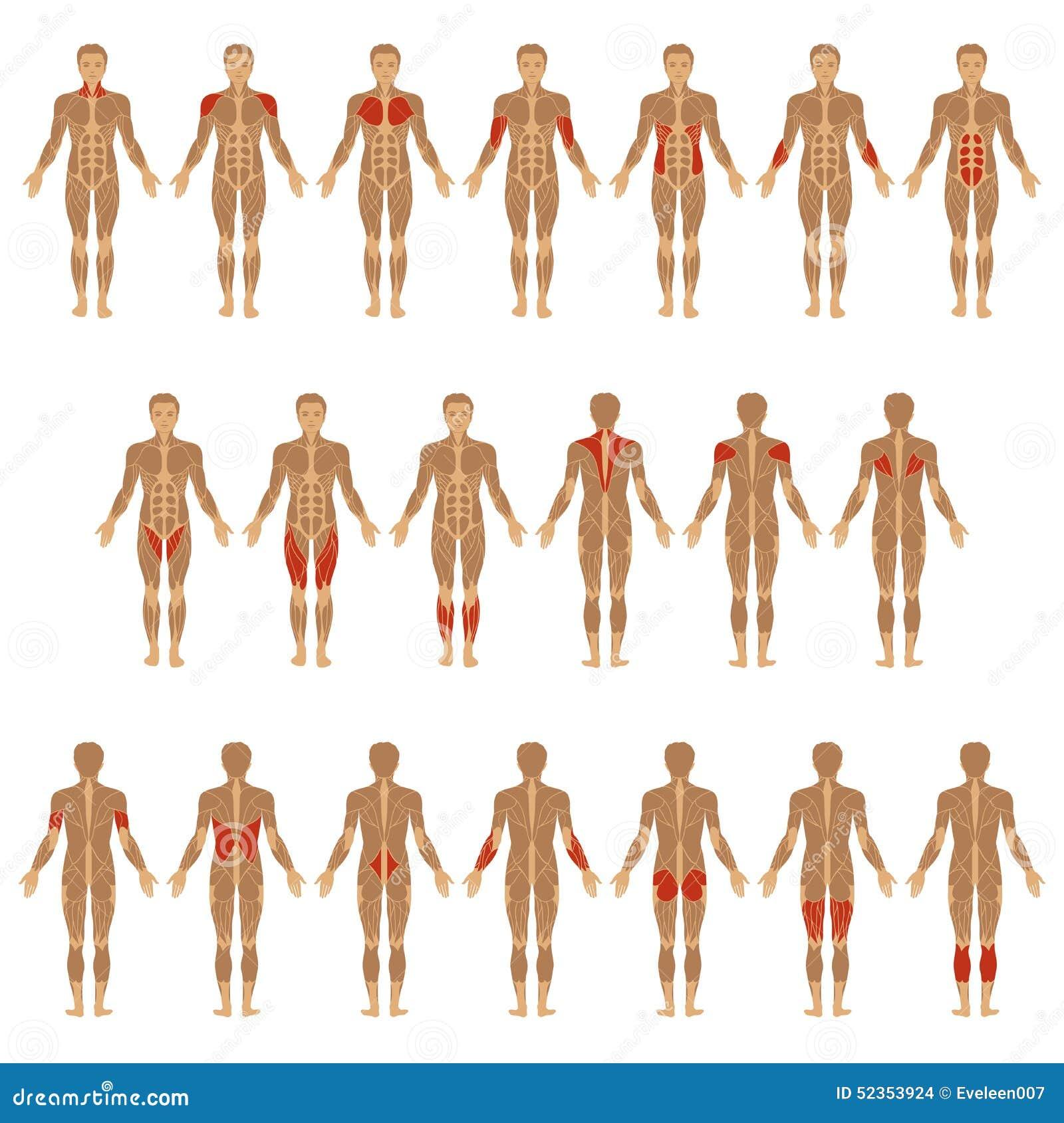 Cuerpo humano, músculo ilustración del vector. Ilustración de pecho ...