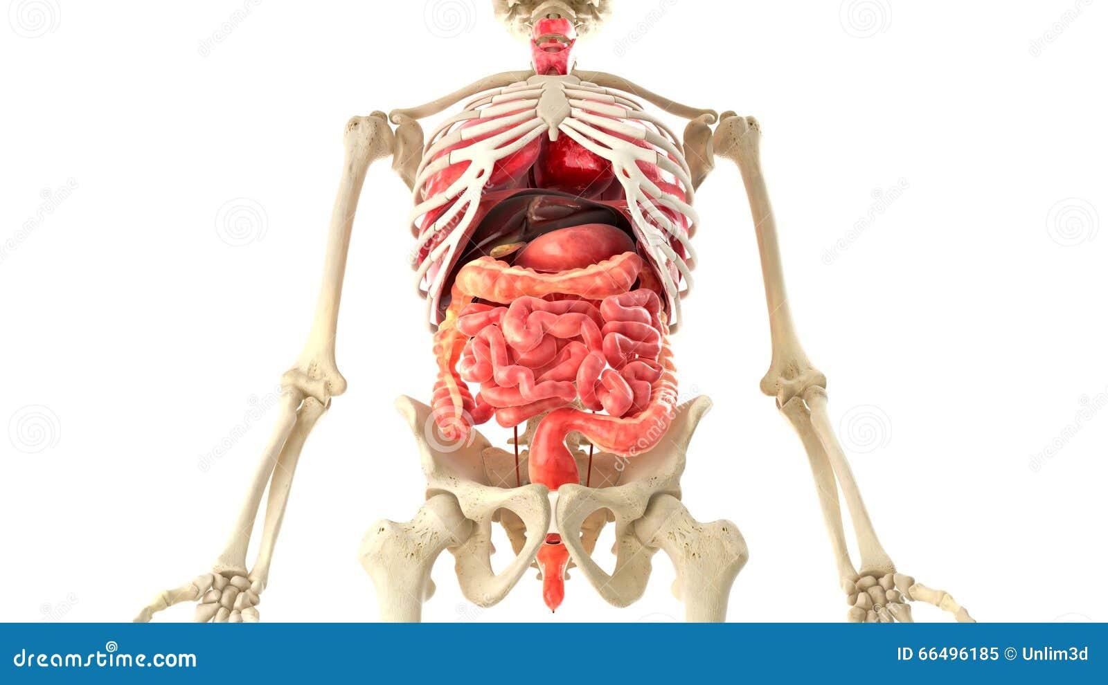 órganos Del Cuerpo Humano Corazón Metraje Stock– 253 órganos Del ...