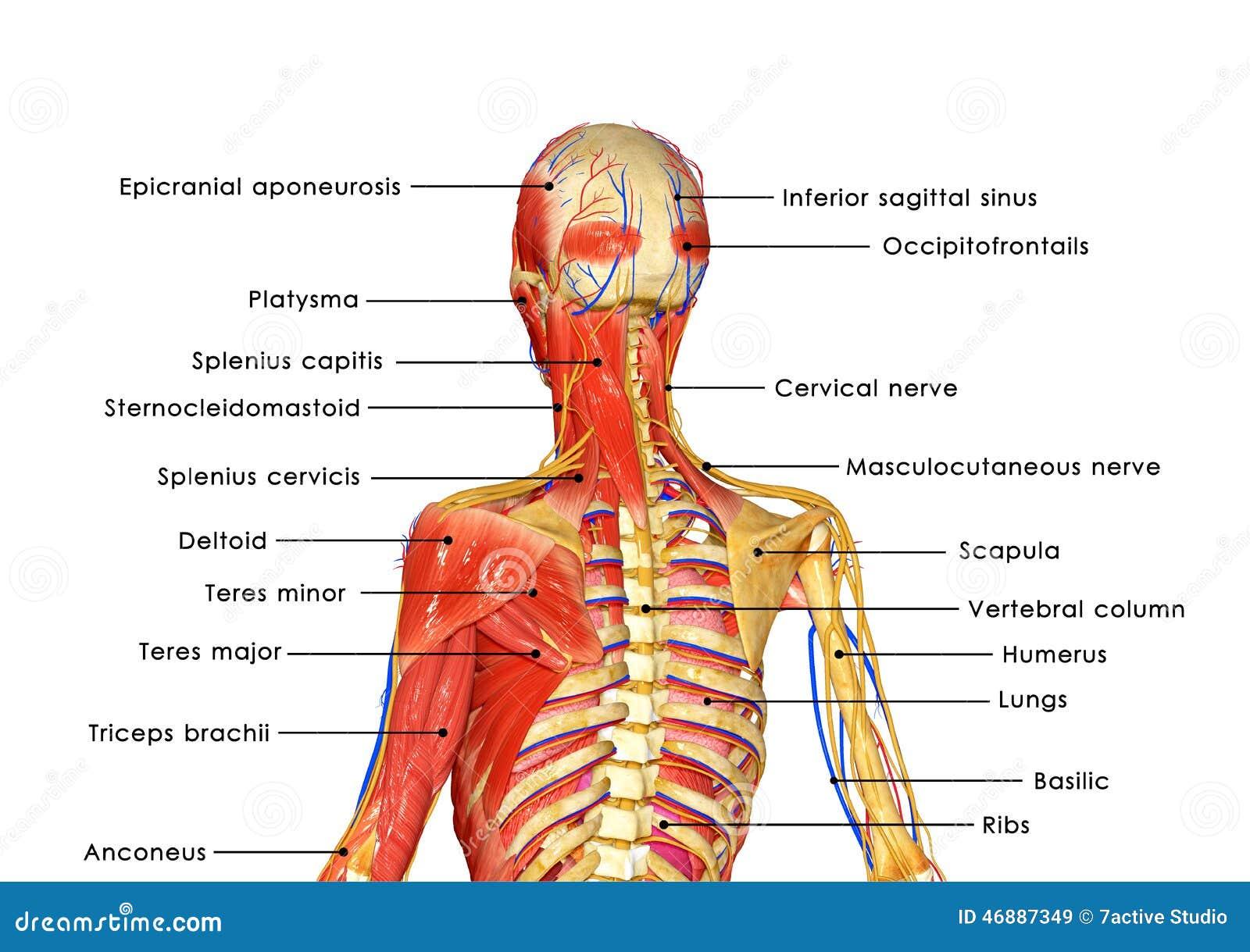 Cuerpo muscular etiquetado stock de ilustración. Ilustración de ...