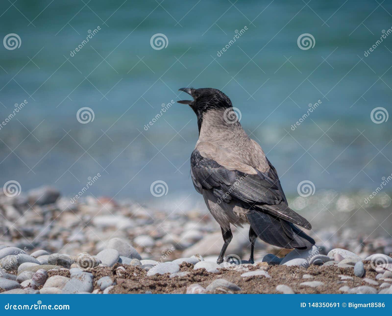 Cuervo adulto en el retrato cercano de la playa