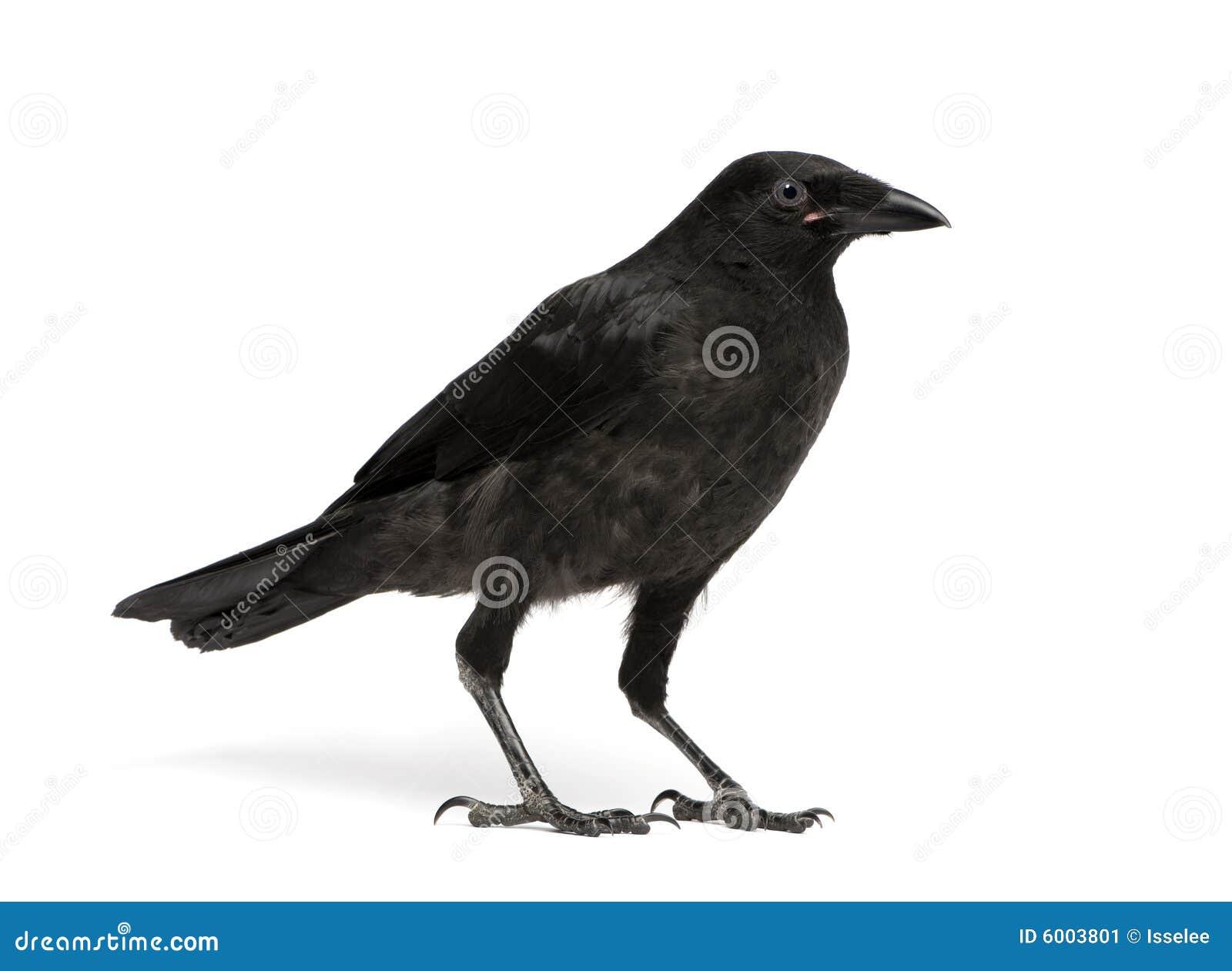 Cuervo de Carrion joven - corone del Corvus (3 meses)