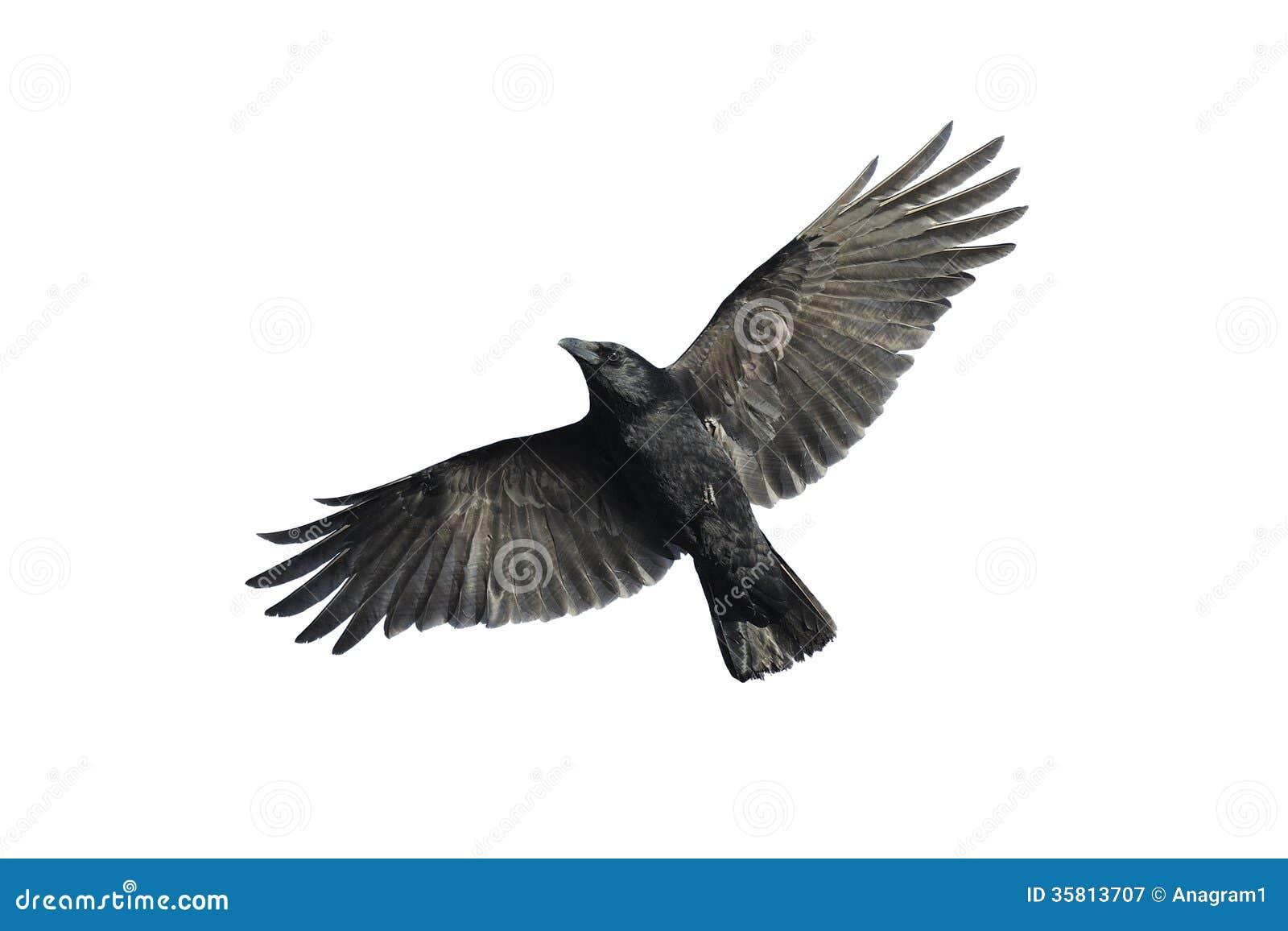 Cuervo de carroña en vuelo