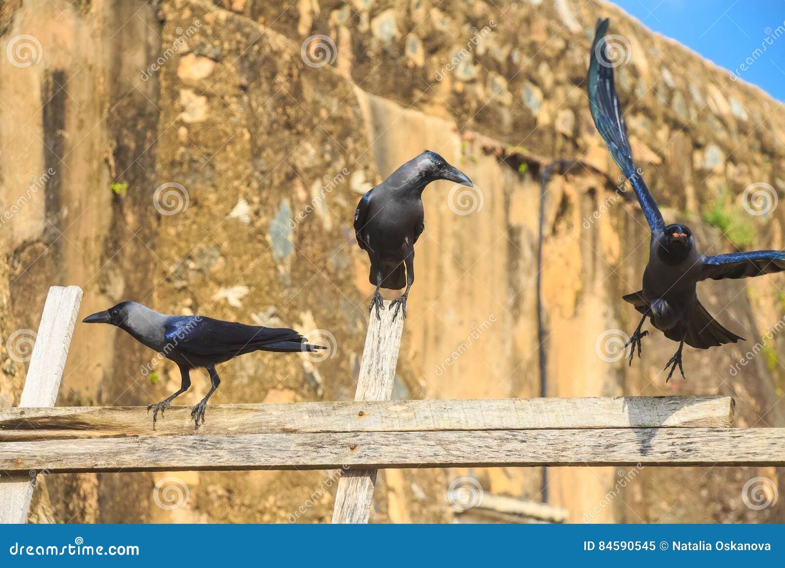 Cuervo de casa o protegatus de los splendens del Corvus