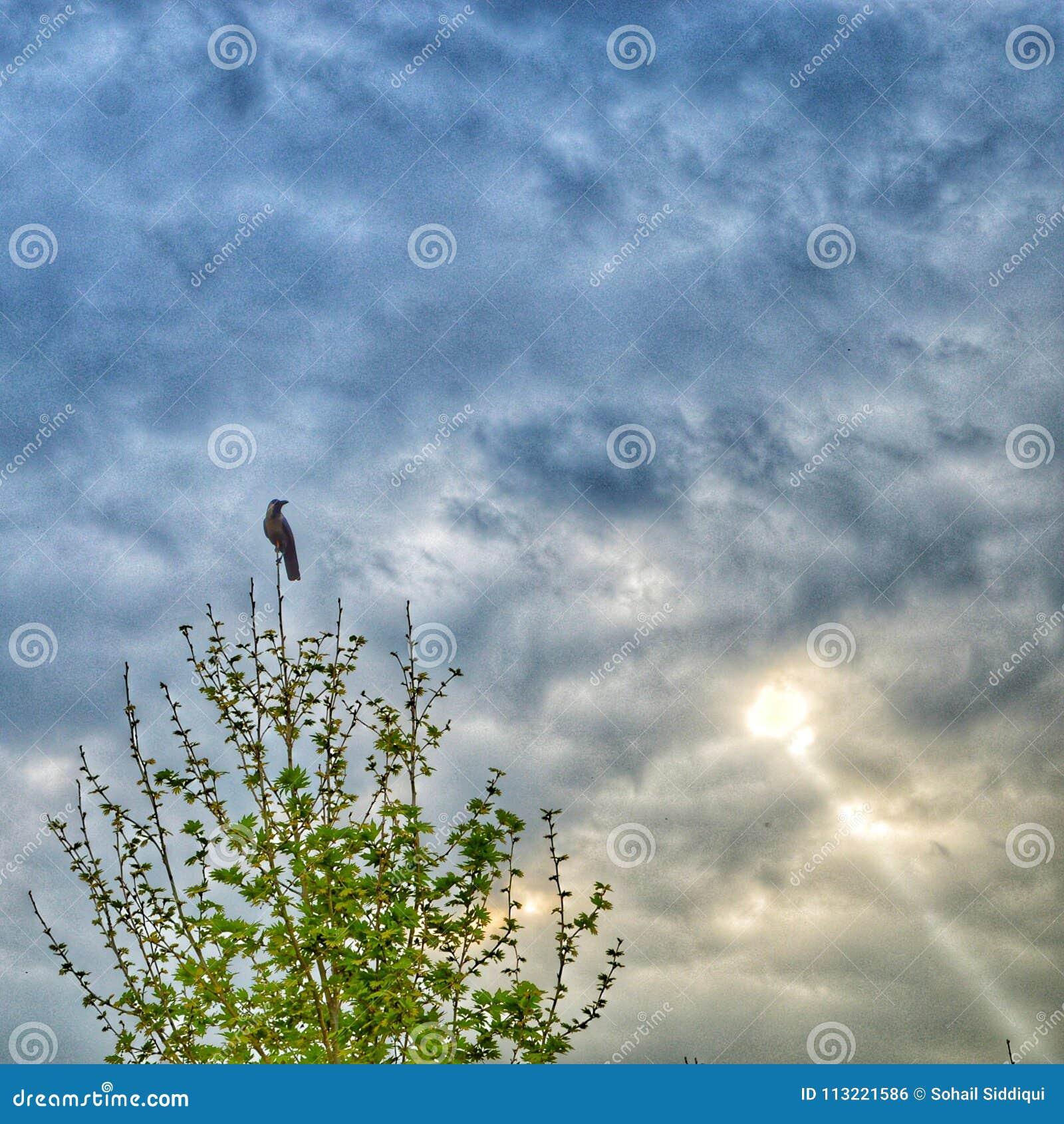 Cuervo de la pega