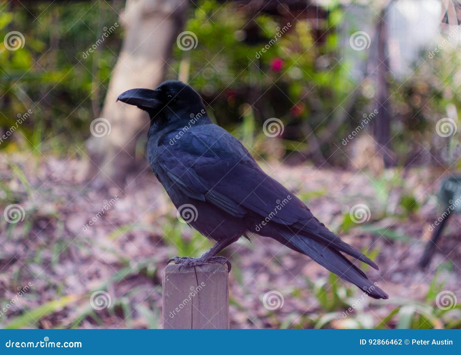 Cuervo de la selva