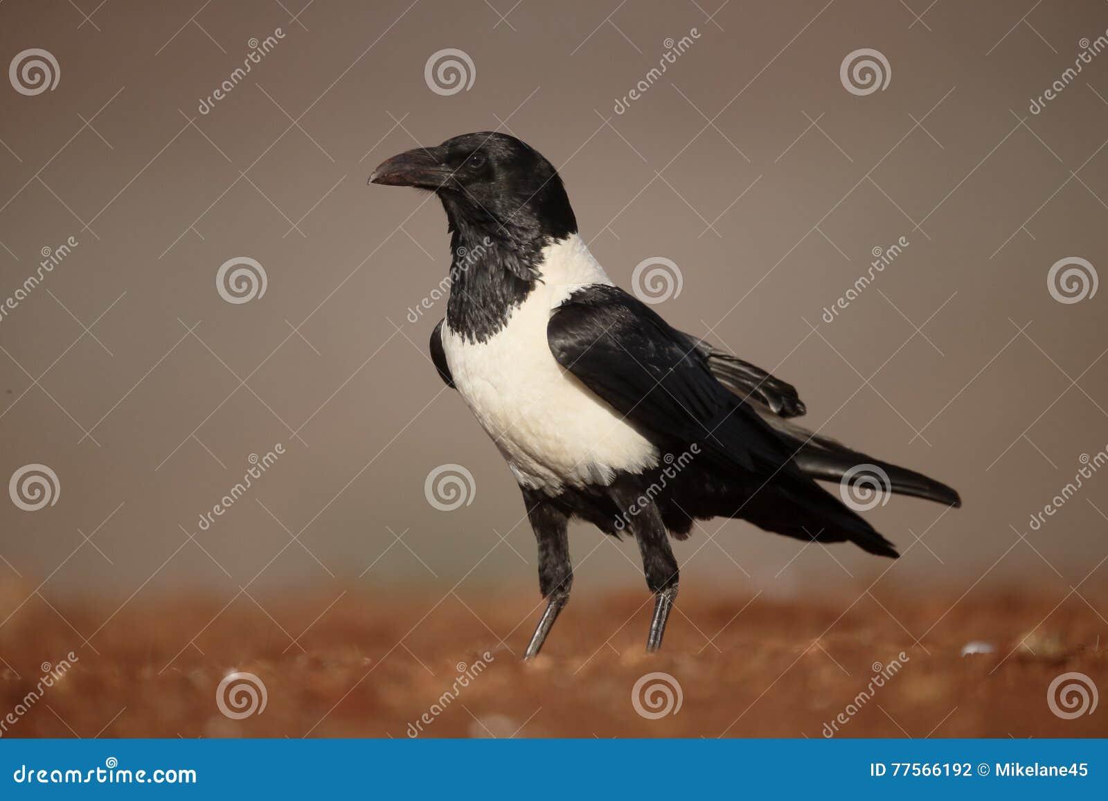 Cuervo de varios colores, albus del Corvus