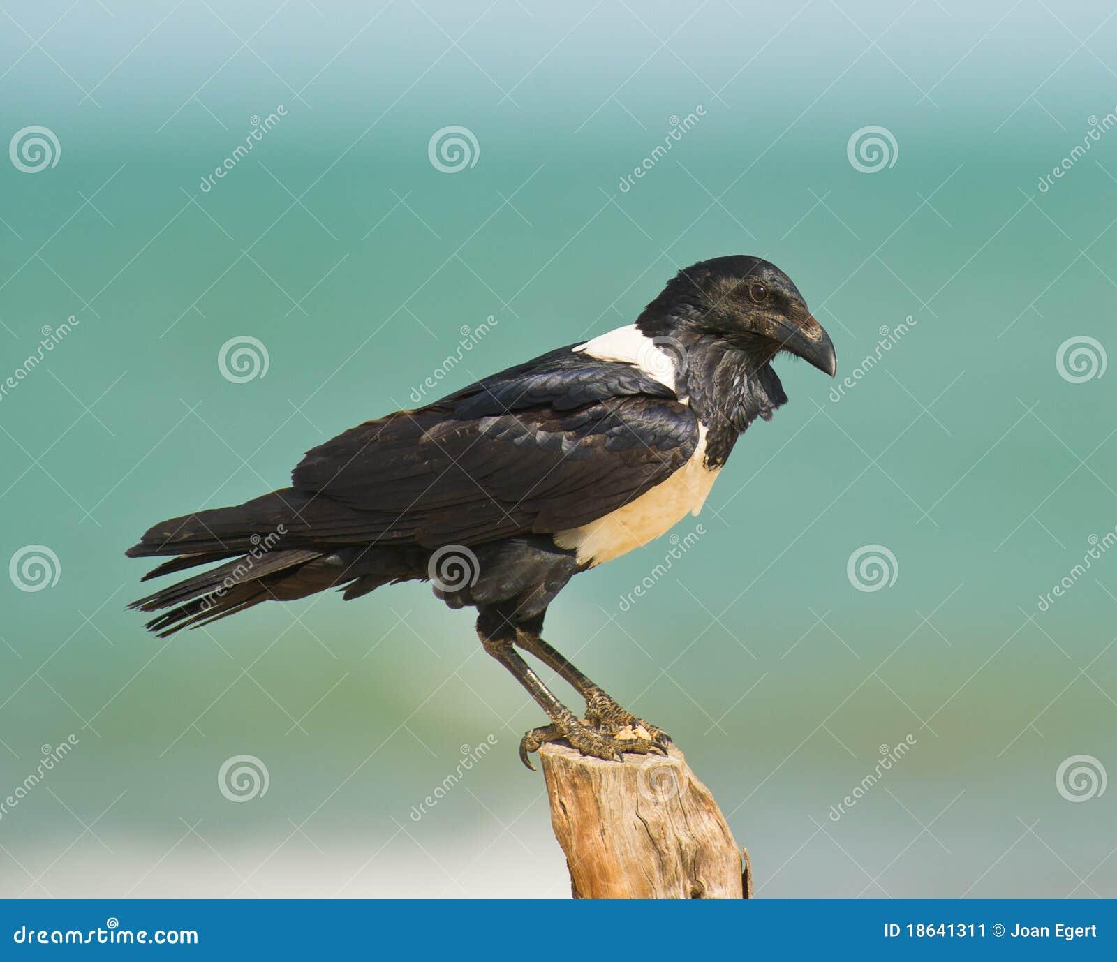 Cuervo de varios colores gambiano