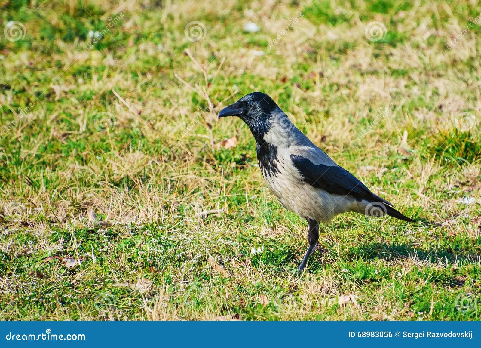 Cuervo en hierba