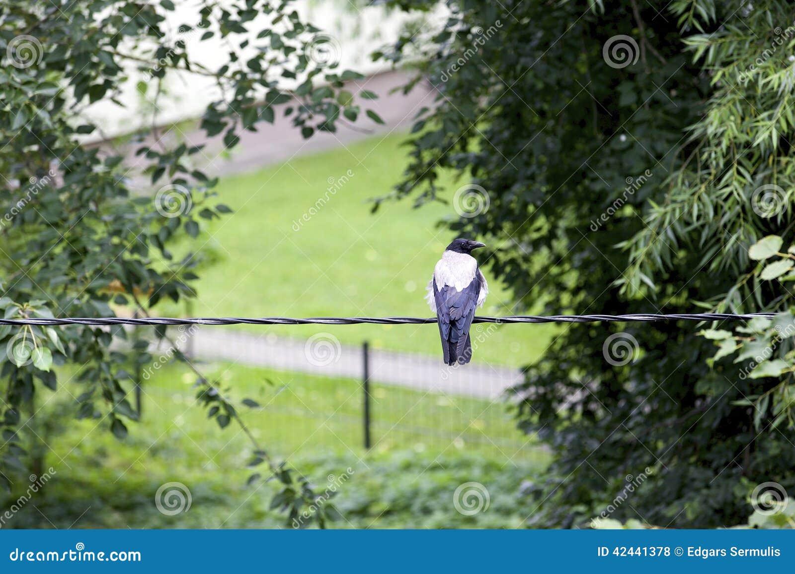 Cuervo en los alambres eléctricos