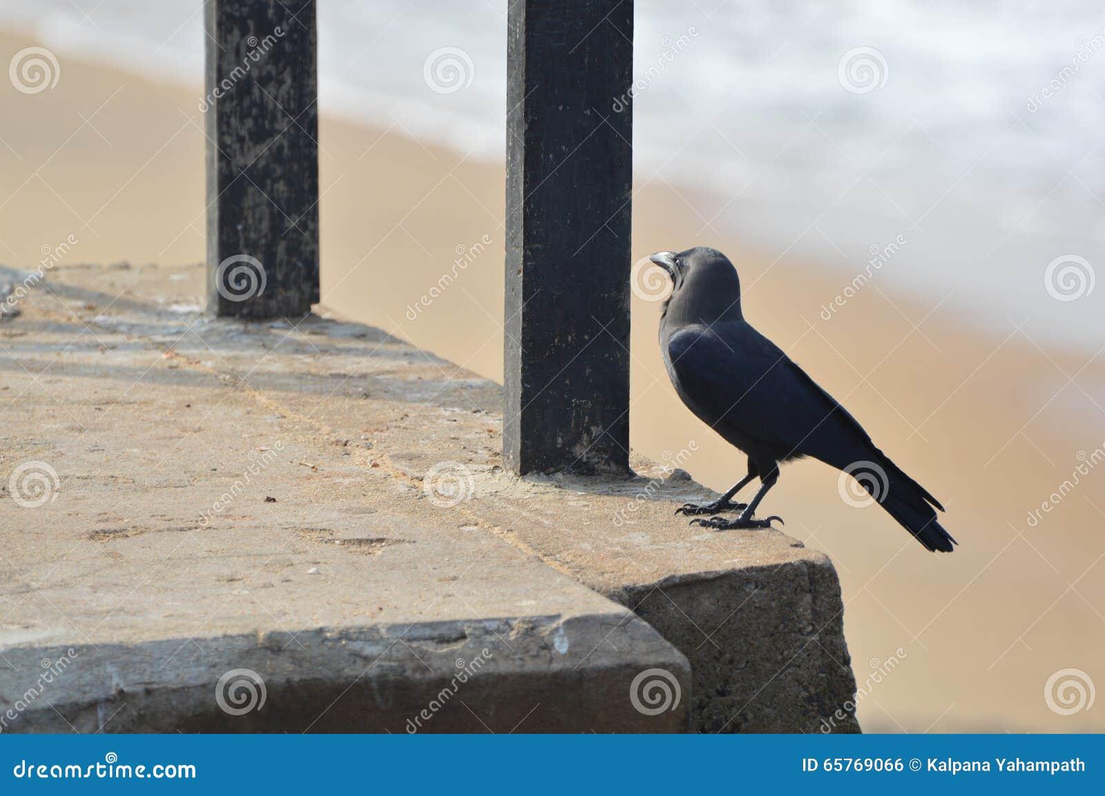 Cuervo en una playa
