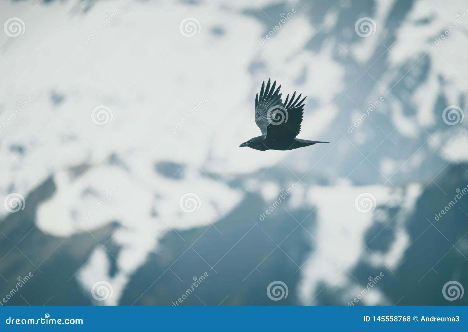 Cuervo en vuelo