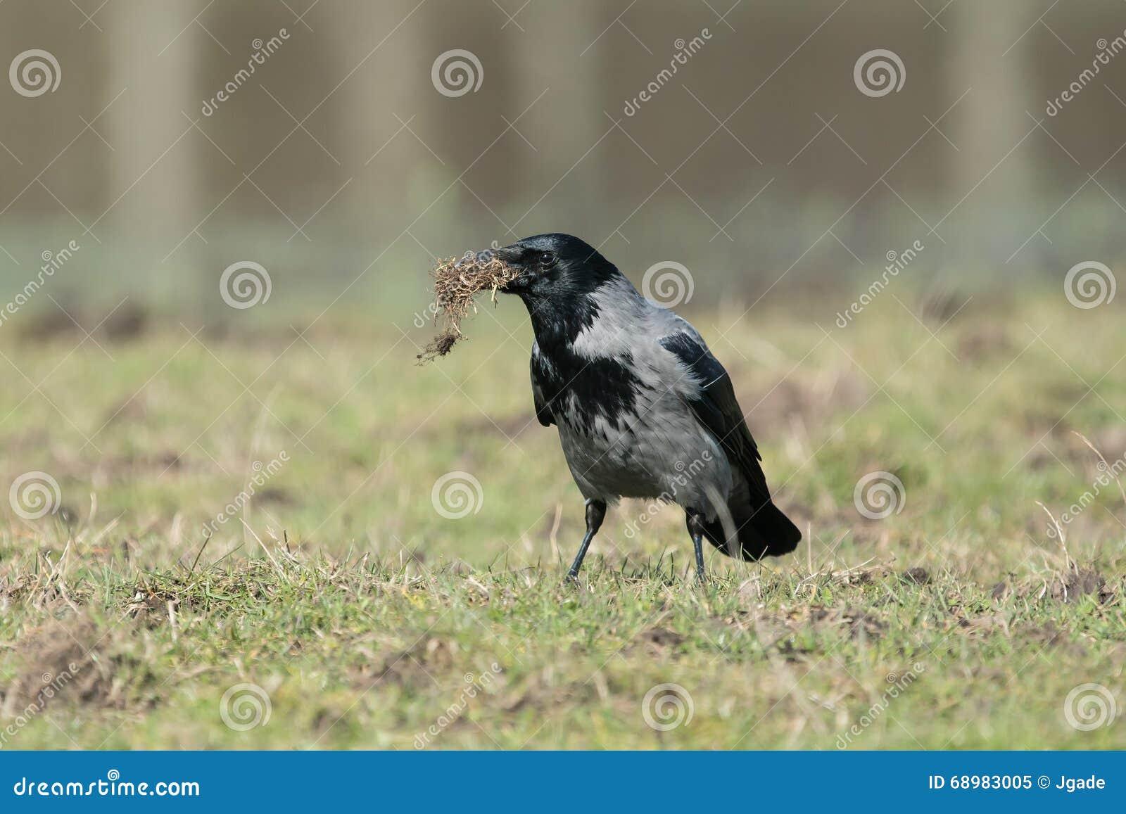 Cuervo encapuchado con el material de la jerarquización