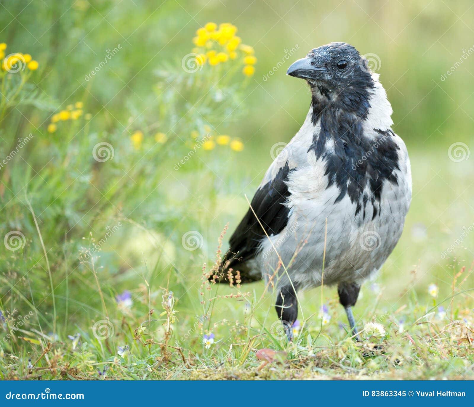 Cuervo encapuchado - cornix del corone del Corvus