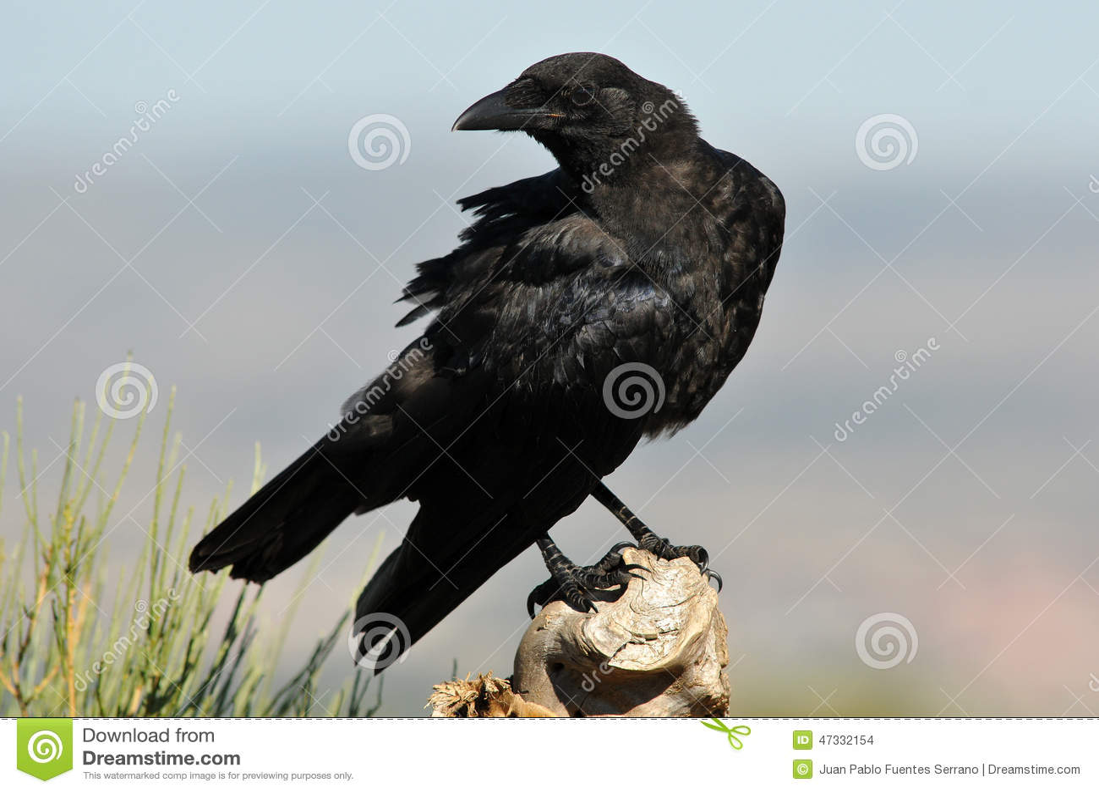 Cuervo encaramado