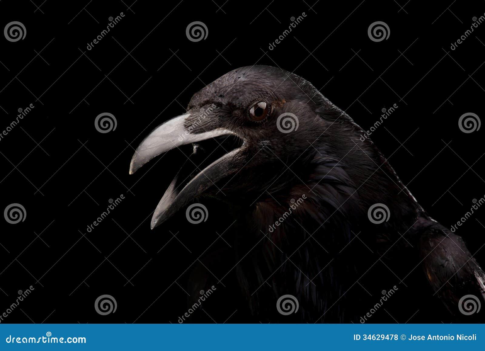 Cuervo negro en negro