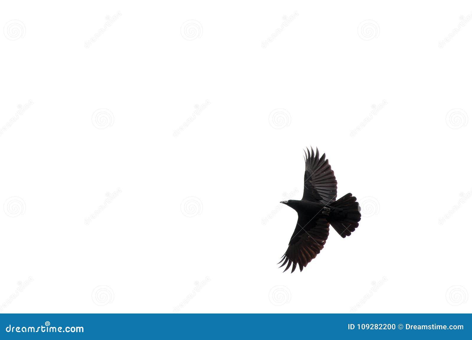 Cuervo que vuela en un fondo blanco