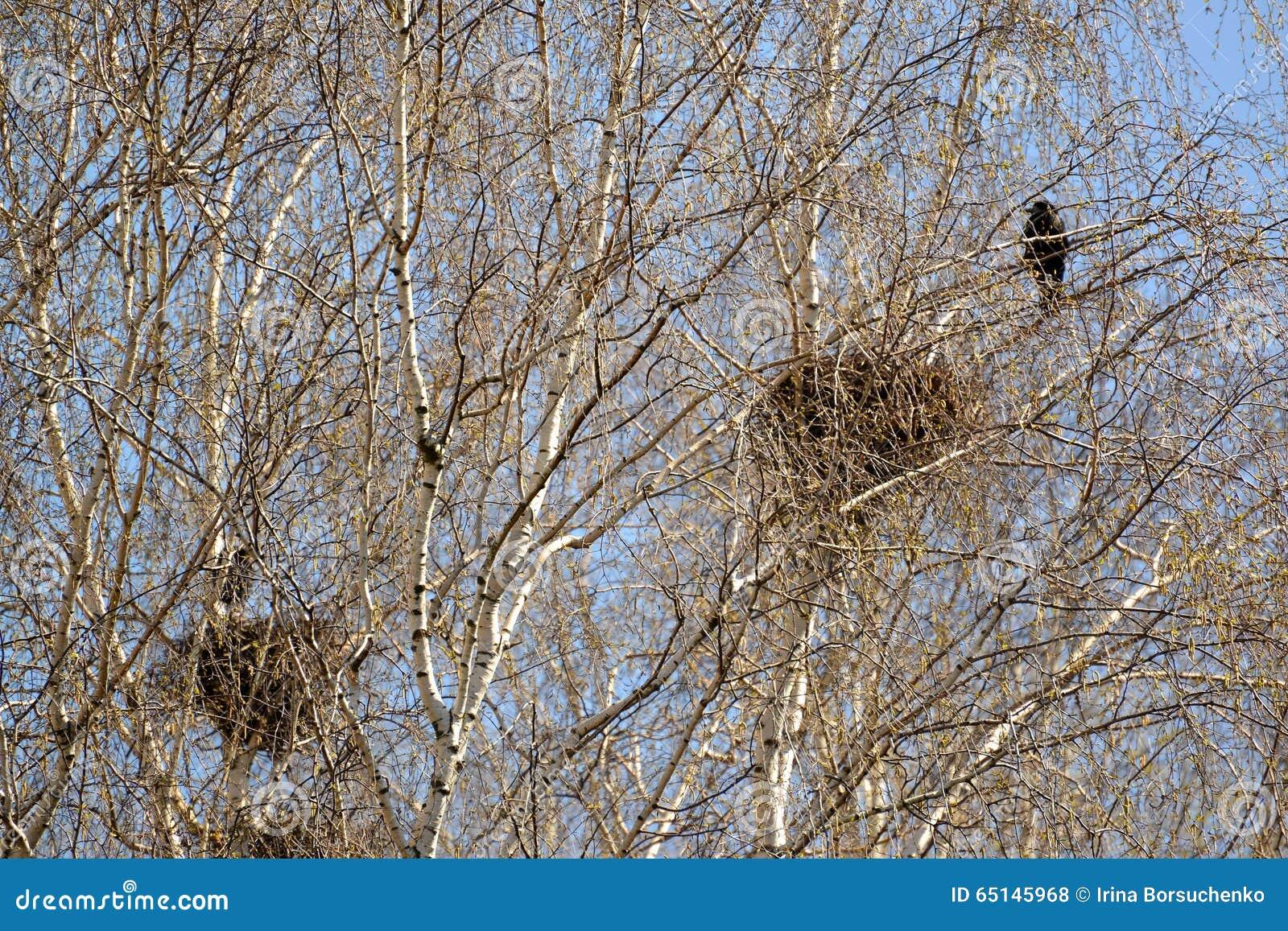 Cuervos de carroña de una jerarquía en las ramas de abedules jovenes