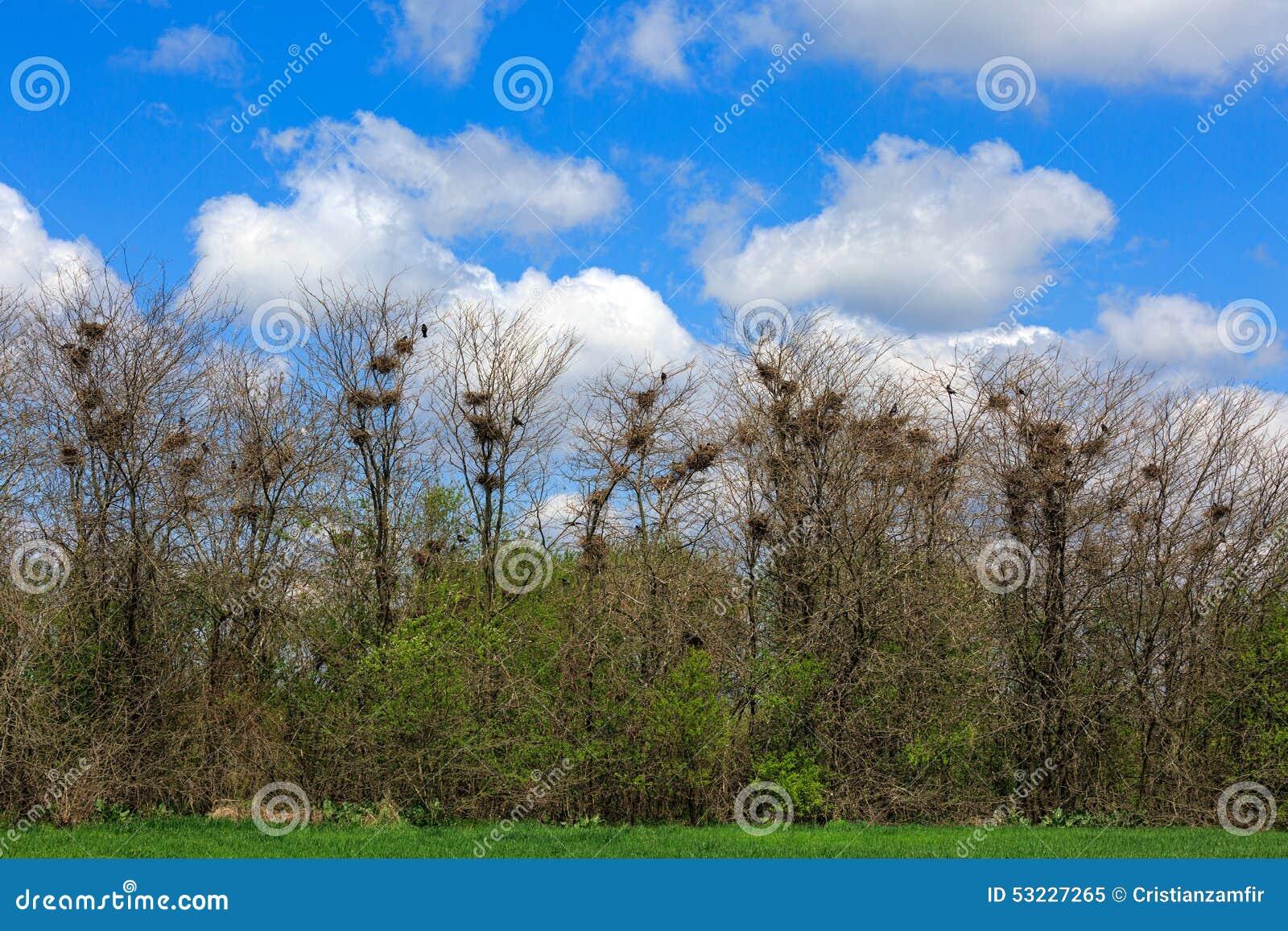 Cuervos en arboleda