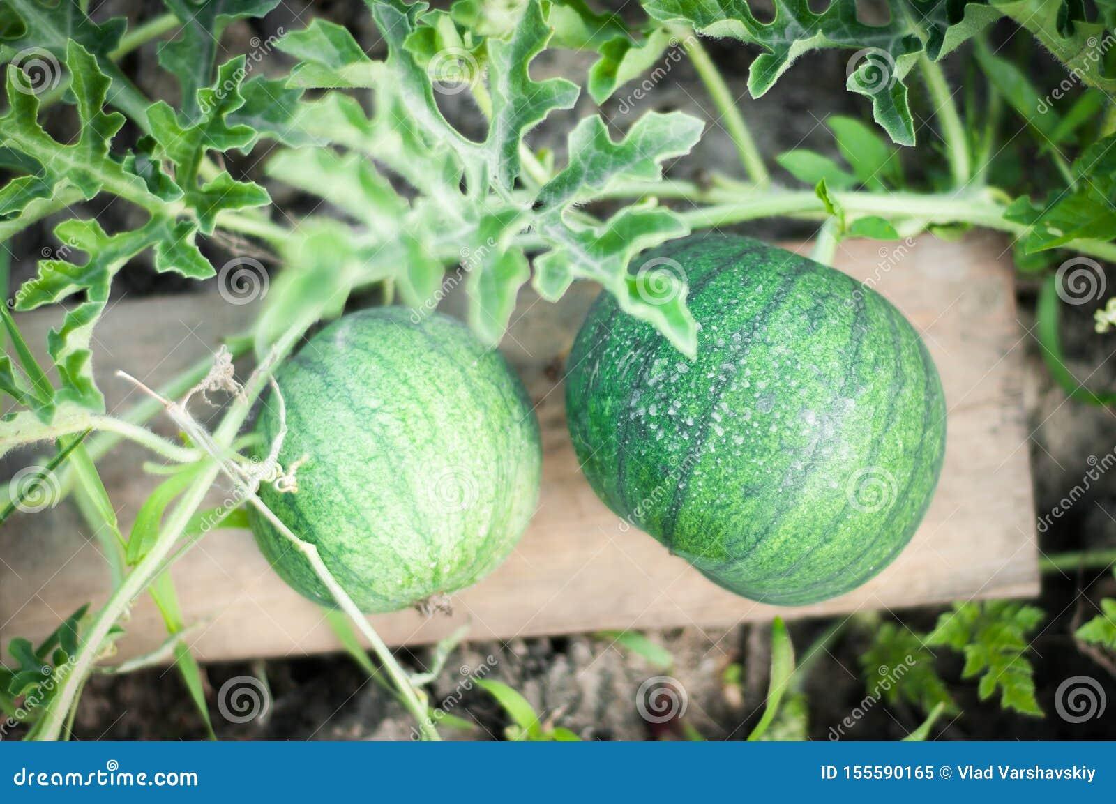 Cuidado y cultivo de la sandía en casa en sus camas Antioxidantes útiles y respetuosos del medio ambiente en una sandía