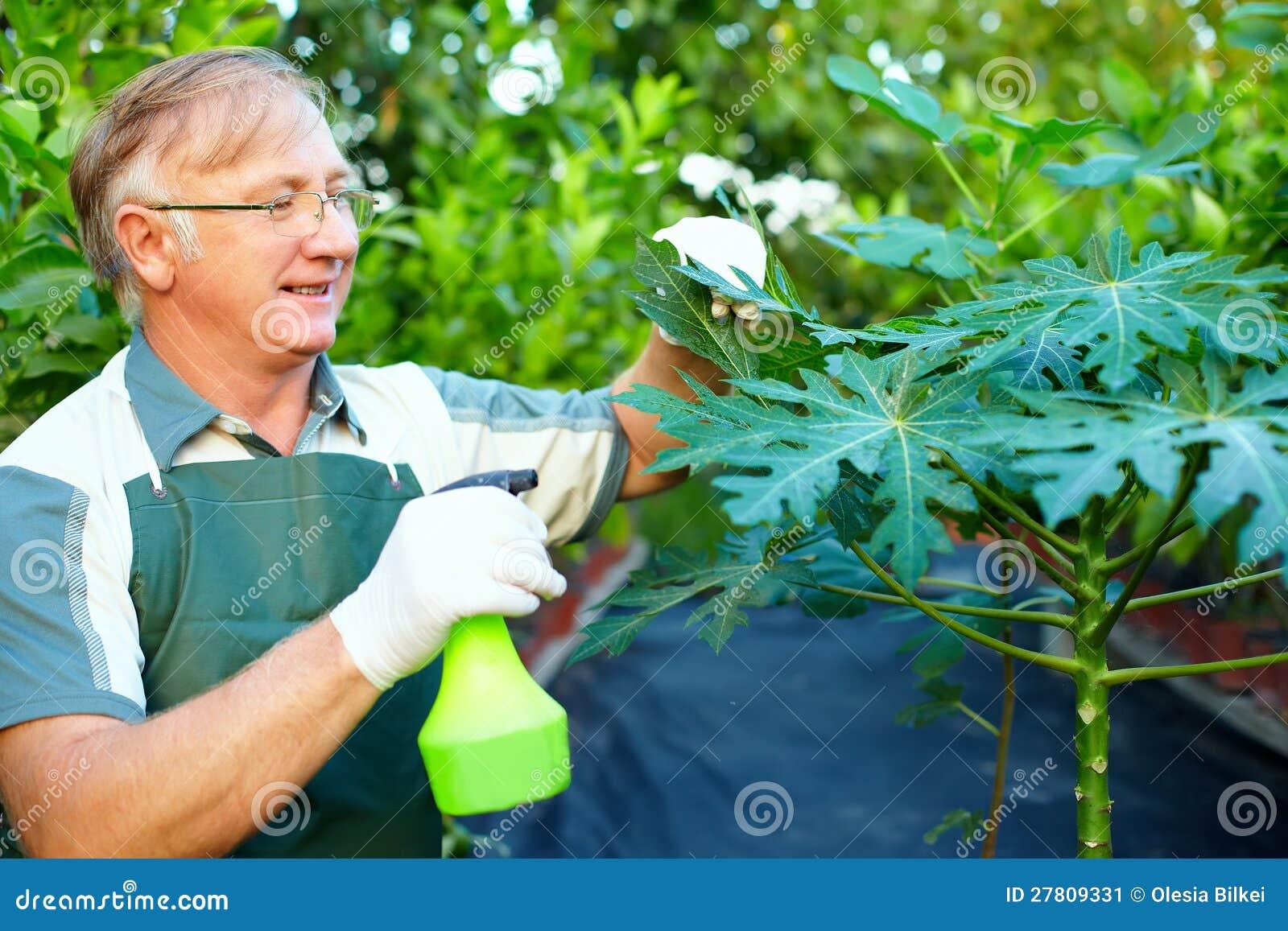 Cuidados felices del jardinero para la planta de la papaya imagen de archivo imagen 27809331 - Cuidados de las hortensias ...