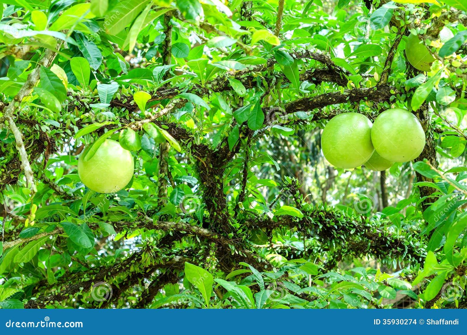 Cujete del Crescentia en árbol de calabaza