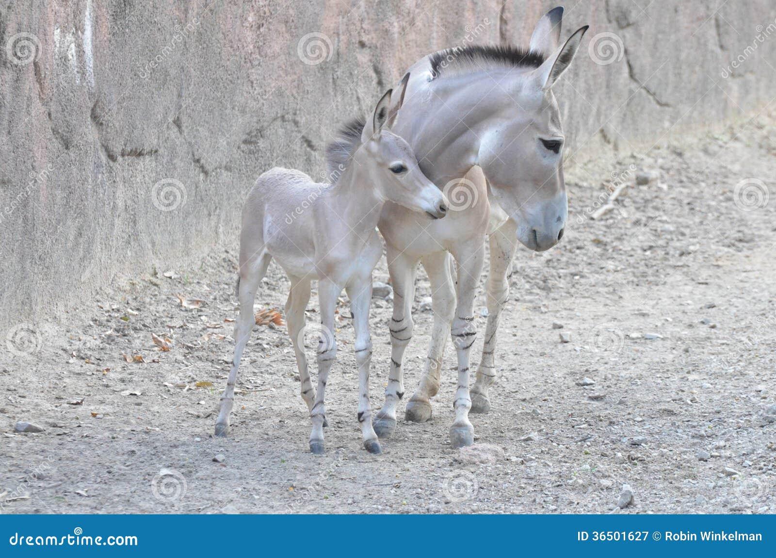 Cul sauvage somali de mère et de bébé