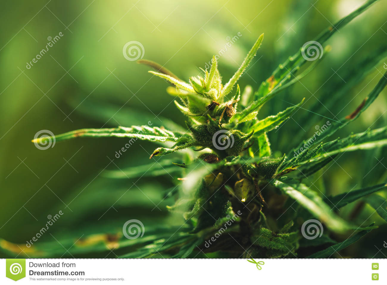 Cultivated industrial marijuana hemp in field