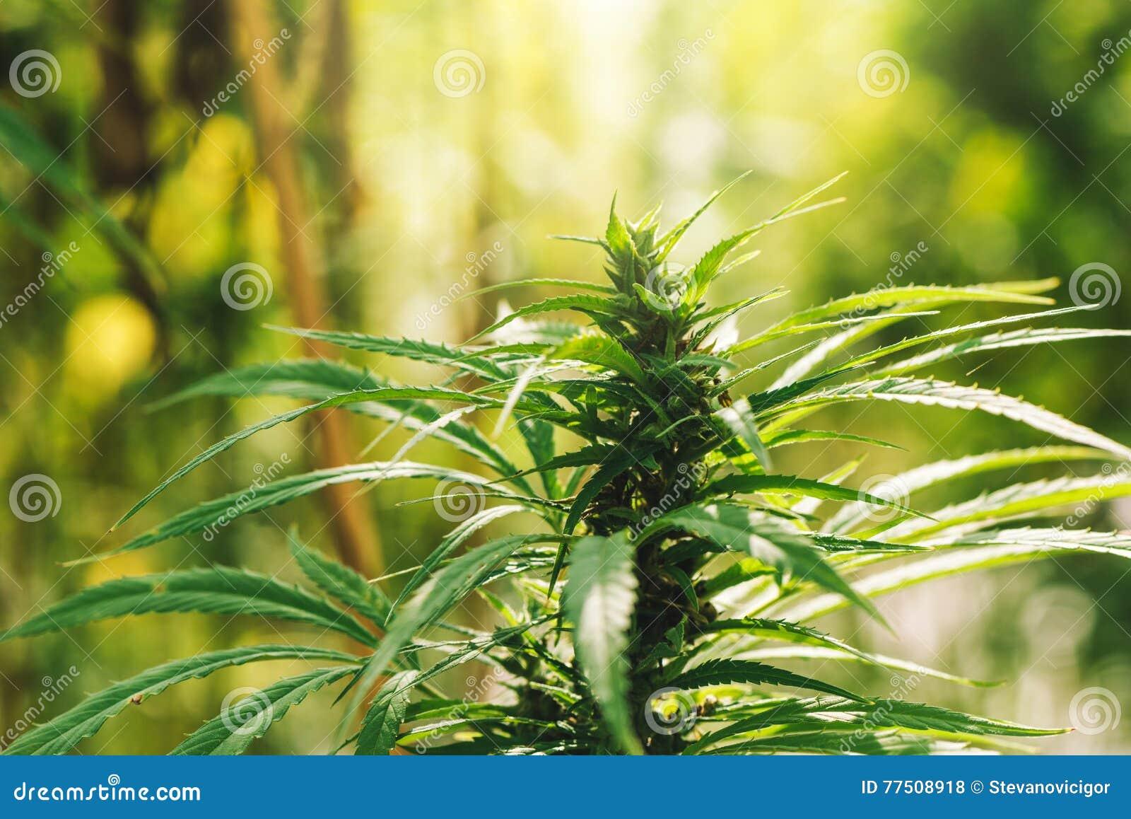 Cultivated industrial marijuana hemp in field