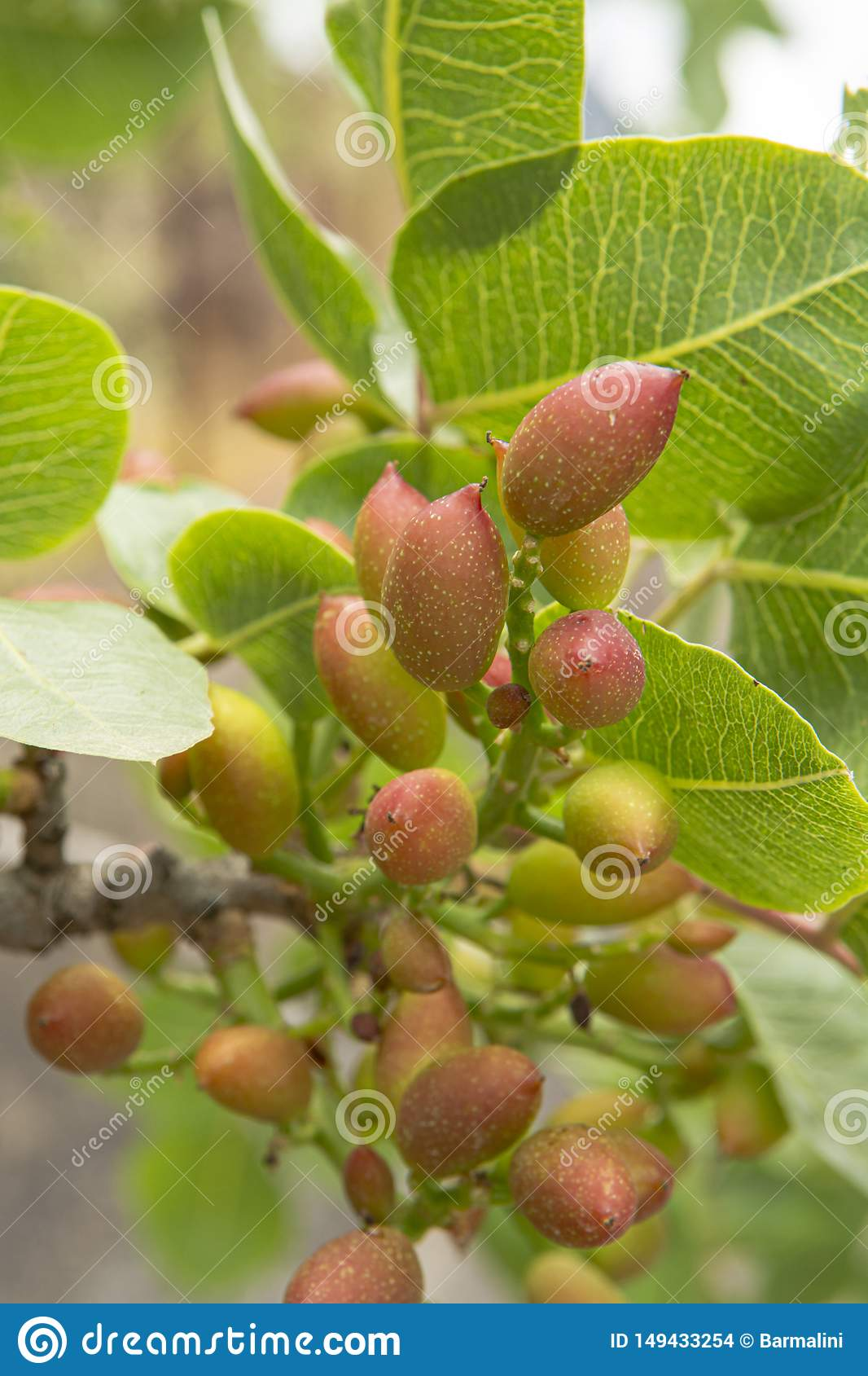 Cultivation of important ingredient of Italian cuisine, plantation of pistachio trees with ripening pistachio nuts near Bronte,