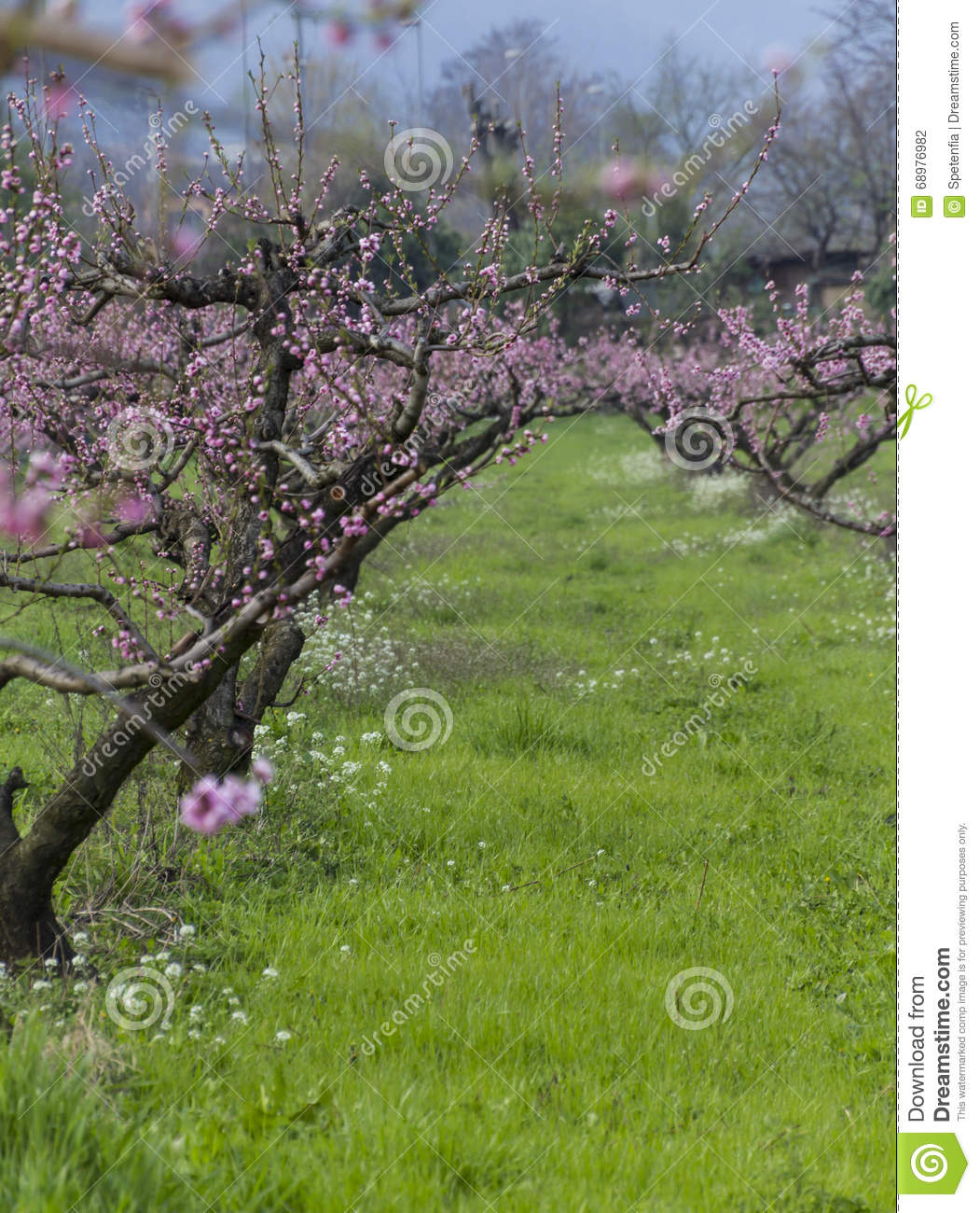 Cultivation of peach trees