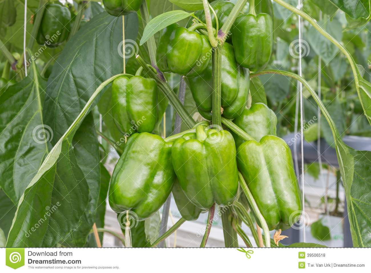 Cultivation of peppers in a Dutch greenhouse