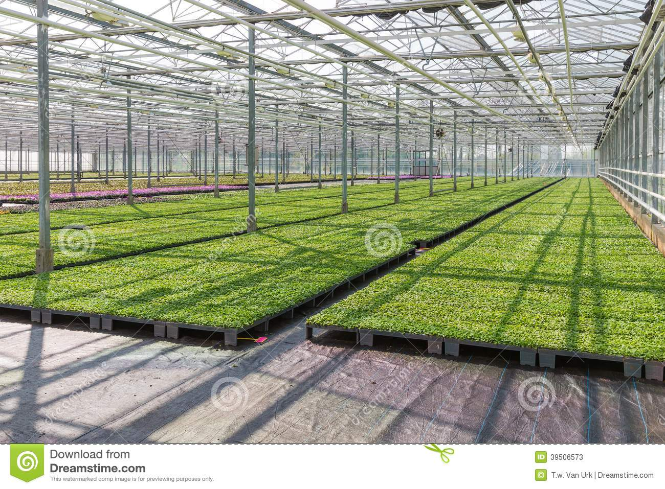 Cultivation of plants in a Dutch greenhouse