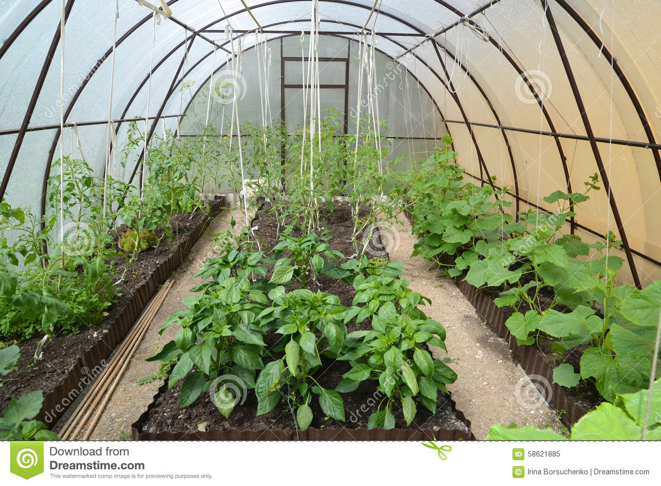 ginger cultivation in greenhouse pdf