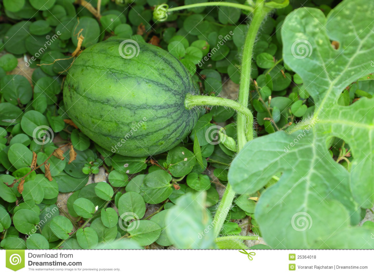 Cultivation a watermelon stock photo. Image of diet ...