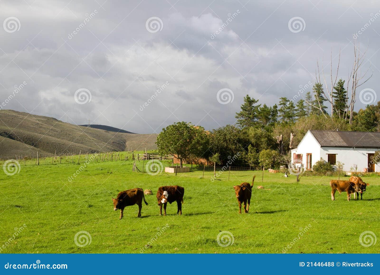 Cultive El Paisaje Rural Con Las Vacas De Hereford Y