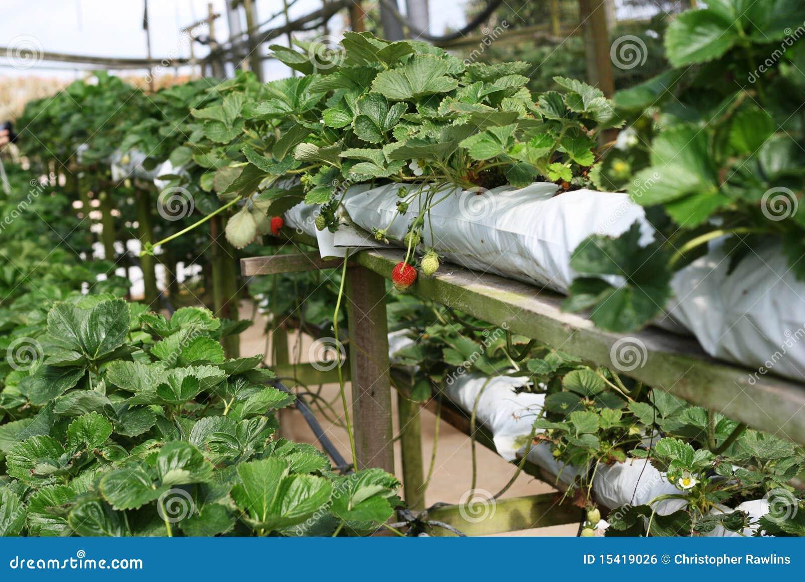 Cultivo da morango
