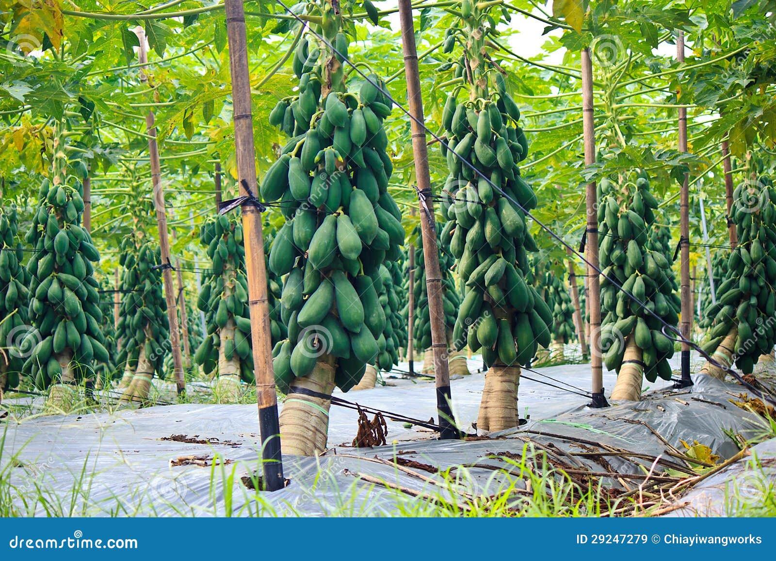 Download Cultivo da papaia imagem de stock. Imagem de vila, agricultura - 29247279