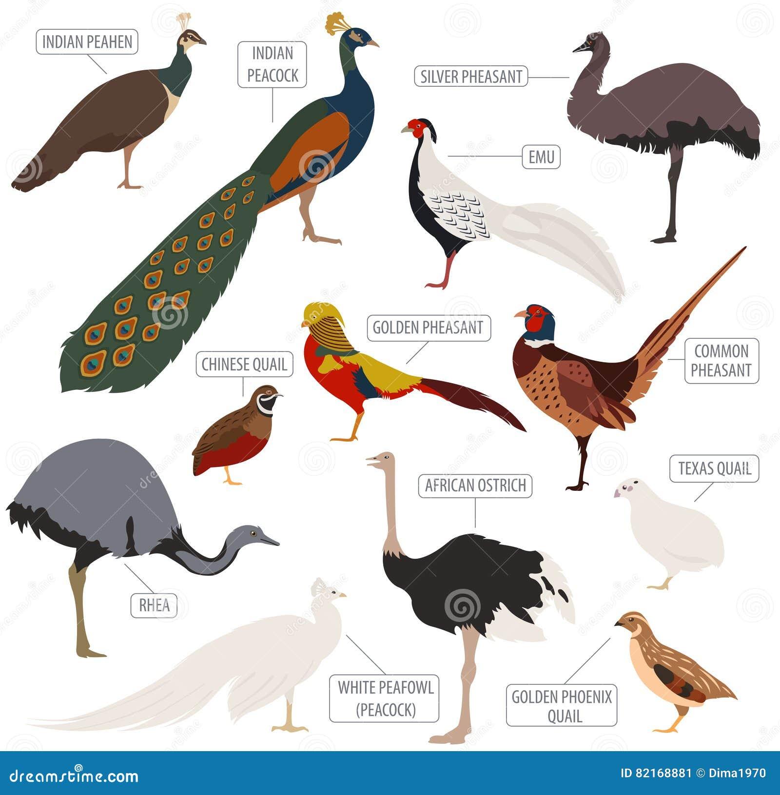 Cultivo de aves domésticas O Peafowl, avestruz, faisão, codorniz produz o ícone s