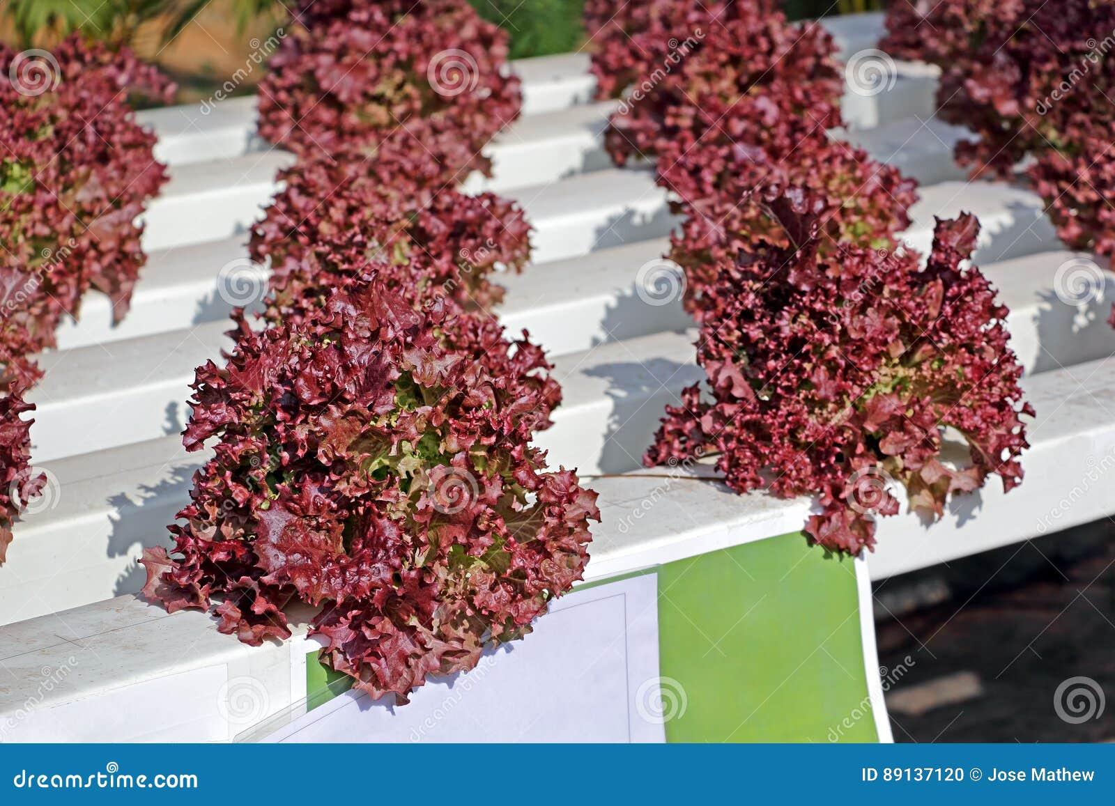 cultivo de la lechuga usando sistema hidropnico foto de archivo